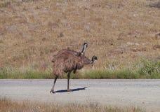The Australian emu Stock Images