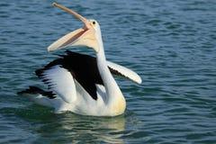 Free Australian Endemic Pelican Stock Photo - 157938120
