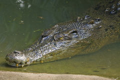 An Australian estuarine crocodile Stock Photos