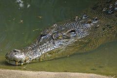 An Australian estuarine crocodile. (Crocodylus porosus) lurking in shallow water near sand bank Stock Photos