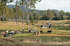 Australian eucalypt cattle country landscape. Australian country landscape beef cattle on rural ranch farm land and gum trees Royalty Free Stock Image