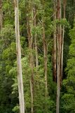 Australian Eucalyptus Forest Stock Photos