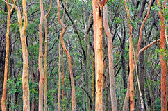 Australian Eucalyptus forest background with Sydney Red Gums stock photography