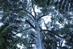Australian eucalyptus gum tree canopy Stock Photos