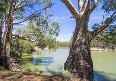 Free Australian Eucalyptus Gum Trees On Banks Of River Under Blue Sky On The Murray River, Victoria, Australia 3 Royalty Free Stock Photo - 77940745