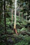 Australian eucalyptus gum trees in rain forest royalty free stock photo