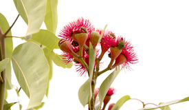 Australian Eucalyptus ptychocarpa red flowering bloodwood stock photo