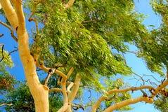Australian Eucalyptus tree. An Australian Gum (Eucalyptas) tree in the Australian outback royalty free stock photography