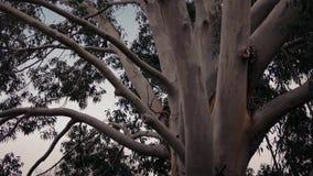 Australian eucalyptus tree in storm. Eucalyptus tree trunks in strong wind stock footage