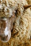 Australian Ewe Royalty Free Stock Image