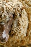 Australian Ewe Stock Photography