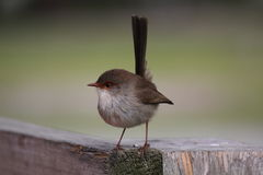 Australian Fairy Wren Royalty Free Stock Photo
