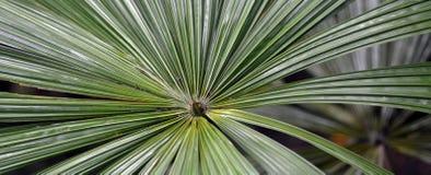 Australian fan palm Queensland Australia Royalty Free Stock Photos