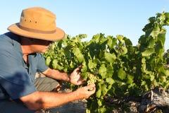 Free Australian Farmer In A Vineyard In Swan Vally Near Perth In Western Australia Royalty Free Stock Photo - 181456035