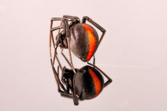 Australian Female Redback Spider Royalty Free Stock Photo