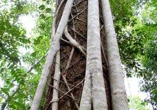 Australian Fig Ficus Rainforest Tree Close up of bark Stock Images