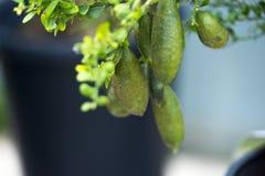 Australian Finger lime or Caviar Lime on tree. stock images