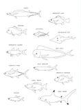 Australian fish. Vector  outline. Royalty Free Stock Photo