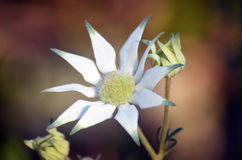 Australian Flannel Flowers (Actinotus helianthi). White petals and buds of the Australian Flannel Flower (Actinotus helianthi) in Sydney, Australia Stock Photos