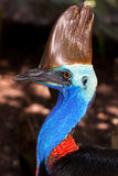 Australian flightless bird, the Cassowary Royalty Free Stock Photo