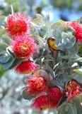 Australian flora: Red fowers of eucalythus trees Stock Photos