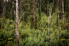Australian Forest Royalty Free Stock Photo