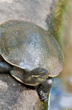 Australian fresh water turtle Stock Photos