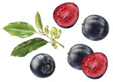 Australian fruit Davidson`s Plum or Davidsonia jerseyana watercolor illustration isolated on white background