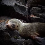 Australian Fur seal colony Royalty Free Stock Image