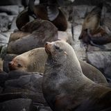 Australian Fur seal colony Royalty Free Stock Photo