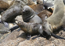 Australian fur seal cow and pup Stock Photo