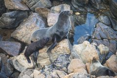 Australian fur seal family sunbathing on Kangaroo Island, South Australia. These magnificent Australian fur seals live in huge caves on the southern end of stock photos