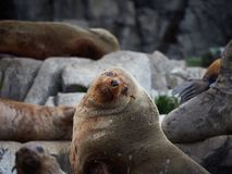 Australian Fur seal colony Royalty Free Stock Photography