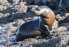 Australian fur seal pup. Australian fur seal pup off the Tasmanian north coast Stock Images