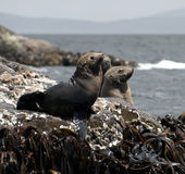 Australian fur seal pups Stock Images