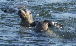 Australian fur seals Royalty Free Stock Photography