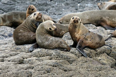 Australian Fur Seals Stock Photography