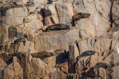 Australian Fur Seals Royalty Free Stock Image
