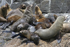 Australian fur seals, Tasmania, Australia Stock Photos