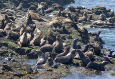 Australian fur seals Royalty Free Stock Photos