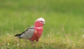 Australian Galah with copy space Stock Photography