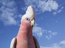 Australian galah, Eolophus roseicapillus , Close up. Close up of a galah, Eolophus roseicapillus Stock Photos
