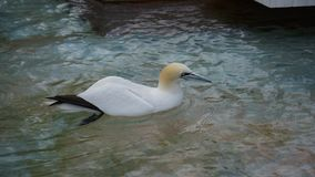 Australian gannet floating in Sea water stock images