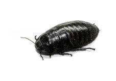 Australian giant burrowing cockroach Royalty Free Stock Photography