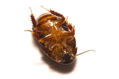 Australian giant burrowing cockroach on white background.  Royalty Free Stock Photo