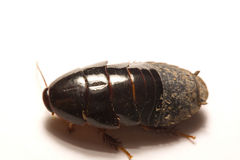 Australian giant burrowing cockroach on white background.  Royalty Free Stock Photos