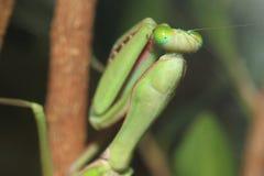 Australian giant mantis Royalty Free Stock Photo