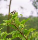 Australian Glasswing butterfly on Peppertree in flower Stock Photo