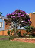 Australian Glory Flower bush Royalty Free Stock Images