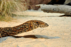 Australian Goanna Head Stock Photography